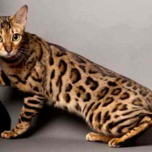 Bengáli macska fotók