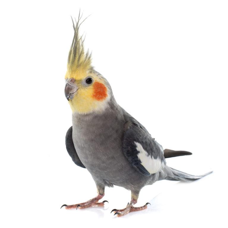 Nimfa papagájok fotók