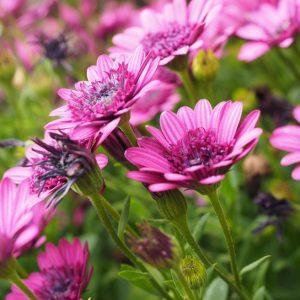 Cseppecskevirág fotók
