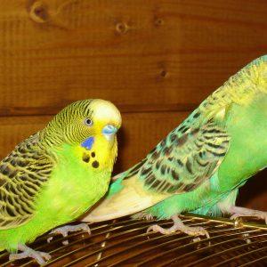 A hullámos papagáj fotók